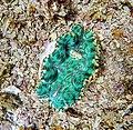 Closeup of green small giant clam Samoa.jpg