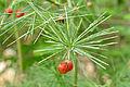 Cluster-leaf Asparagus (Asparagus laricinus) (17380997265).jpg