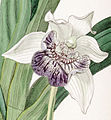 Cochleanthes flabelliformis - cutout - Edwards vol 22 pl 1857 (1836).jpg