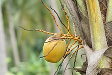 Coconut tree 06264.JPG