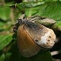 Coenonympha arcania Grinda.jpg