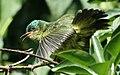 Collared Sunbird 2008 03 02 0937.jpg