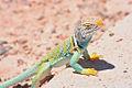 Collared lizard1.jpg