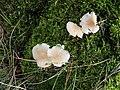 Collybia dryophila, Cloughfin - geograph.org.uk - 1620497.jpg