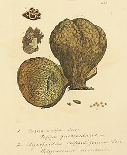 Coloured Figures of English Fungi or Mushrooms - t. 425.jpg