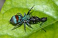 Colourful-spider-with-prey-from-kottayam.jpg