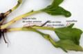 Commelina rama axilar y sucesión foliar (con etiquetas).png