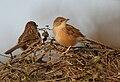 Common Babbler (Turdoides caudatus) in Hodal, Haryana W IMG 6395.jpg
