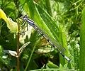 Common Bluet Immature male. Enallagma cyathigerum (34823106713).jpg