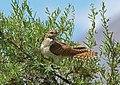 Common Cuckoo (Cuculus canorus) (15895320522).jpg
