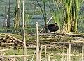 Common Gallinule (34872528002).jpg