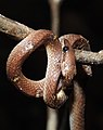 Common Wolf Snake Lycodon aulicus by Dr. Raju Kasambe DSCN7762 (29).jpg