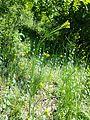 Conringia austriaca sl31.jpg