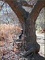 Contemplation, Oak Glen, CA 1-19-13a (8501703286).jpg