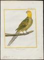 Conurus carolinensis - 1700-1880 - Print - Iconographia Zoologica - Special Collections University of Amsterdam - UBA01 IZ18500153.tif