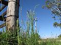 Conyza bonariensis plant6 NT (15902935003).jpg