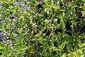Cornus stolonifera Buds Yellow 1zz.jpg