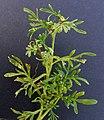 Coronopus squamatus inflorescens (10).jpg