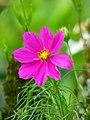 Correo lila - Guatemala (Cosmos bipinnatus) (15183888945).jpg