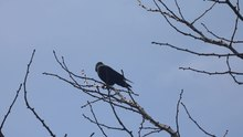 File:Corvid in tree calling.gk.webm