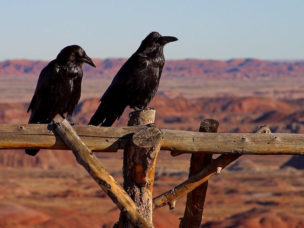 Ravnen hører til de største spurvefugle i verden. Her to fugle fra Arizona, USA