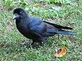 Corvus macrorhynchos Tokyo 6.jpg