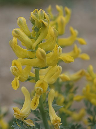 Corydalis - Image: Corydalis aurea flowers 1