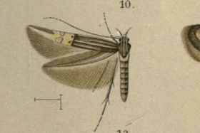Cosmopterix coryphaea.png