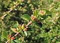 Cotoneaster divaricatus kz03.jpg