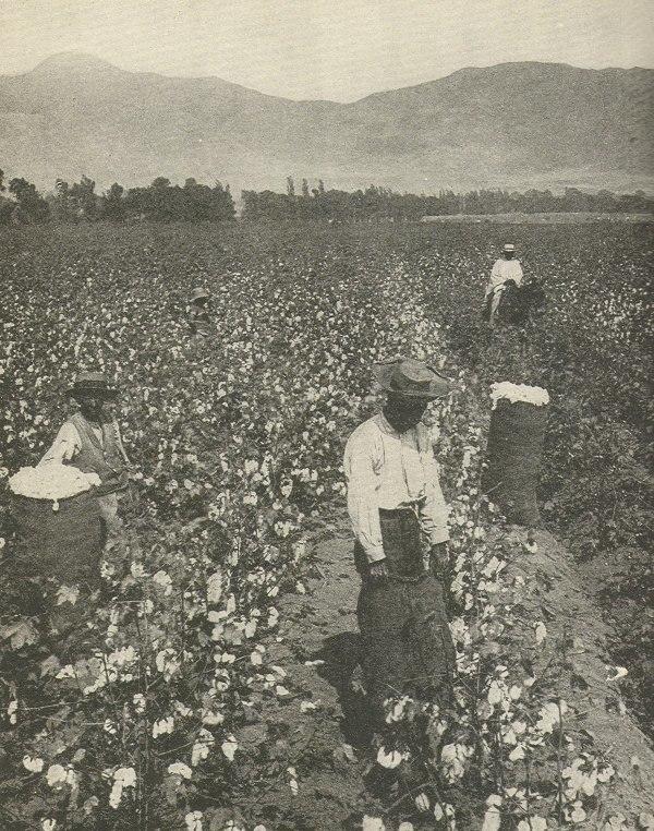 CottonNegrosSouth