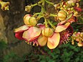 Couroupita guianensis - Cannon Ball Tree at Peravoor (10).jpg