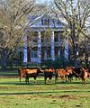 Cows grazing at Alfred Hatch Place, Arcola, Alabama.jpg