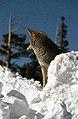 Coyote036 (26662430250).jpg