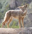 Coyote in Griffith Park 2.jpg