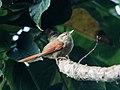 Cranioleuca hellmayri - Streak-capped Spinetail.jpg