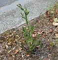 Crepis foetida plant (13).jpg