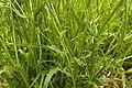 Crepis setosa leaf (13).jpg