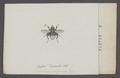 Criorhina - Print - Iconographia Zoologica - Special Collections University of Amsterdam - UBAINV0274 039 02 0007.tif
