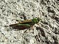 Criquet migrateur (10).jpg