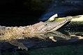 Crocodylus johnstoni 2zz.jpg