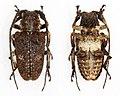 Crossotus tubericollis (26515455189).jpg