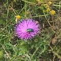 Cryptocephalus on flower Prostejov.jpg