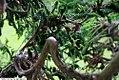 Cryptomeria japonica Cristata 6zz.jpg