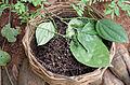 Cueillette de poivre noir - Sri Lanka.jpg