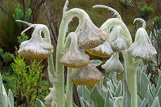 Páramo - Culcitium sp. in Páramo de Chiles, Carchi, Ecuador.