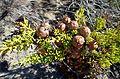 Cupressus macrocarpa kz9.jpg