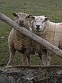 Curious sheep - geograph.org.uk - 703905.jpg