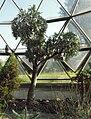 Cussonia paniculata.Araliaceae.jpg