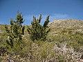 Cuyamaca Peak Cypress.JPG