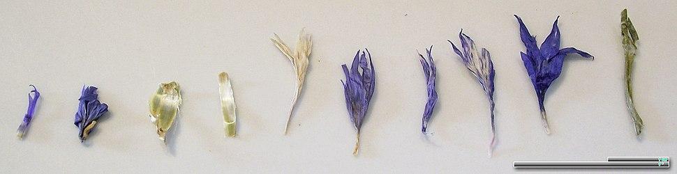 Cyani flos dried
